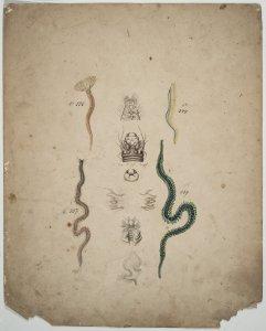 Branchiomma vesiculosum [art original]: Siphonostoma diplochaïtos: Nereis margaritacea: Phyllodoce parettii.
