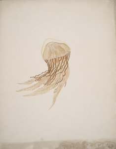 [Unidentified jellyfish] [art original].