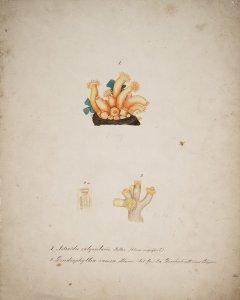 Astroides calycularis, No. 919 [art original]: Dendrophyllia ramea, No. 125