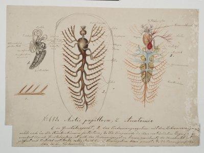 Aeolis papillosa [art original].