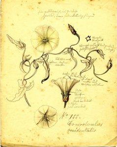 Convolvulus occidentalis [art original]