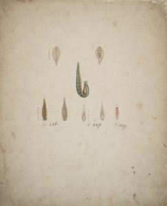 Clepsine bioculata [art original]: Clepsine marginata: Clepsine sanguinea.