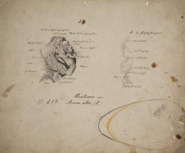 Anatomie [son] Arion ater [art original].