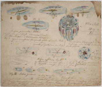Salpa pinnata [art original]: Salpa affinis: Salpa zonaria