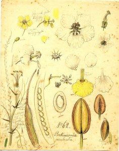 Parkinsonia aculeata [art original].