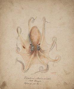 Eledone aldrovandi [art original].
