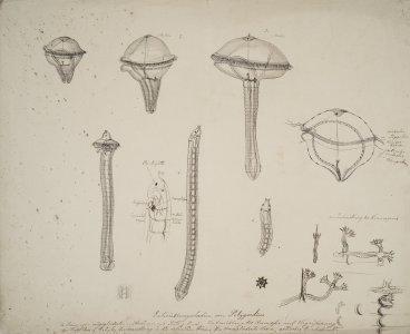 Entwicklungsstadien von polygordius [art original].