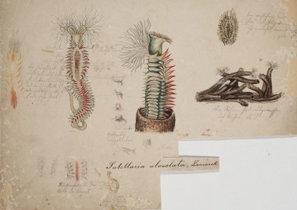 Sabellaria alveolata [art original].