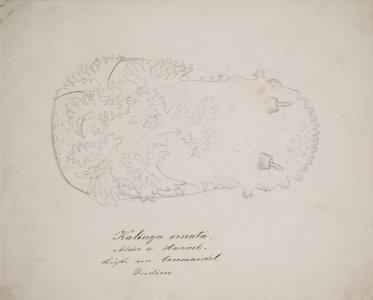 Kalinga oinata [art original].