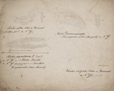 Aeolis alba [art original]: Aeolis Drummondii: Aeolis papillosa: Aeolis exigua.