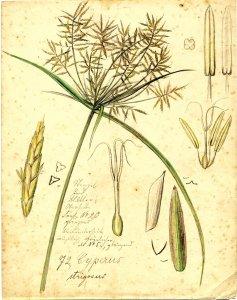 Cyperus strigosus [art original].