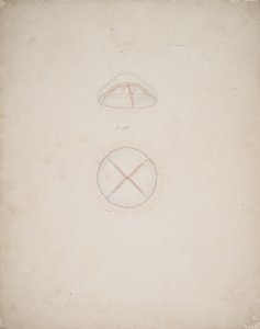 Staurophora laciniata, no. 180 [art original].