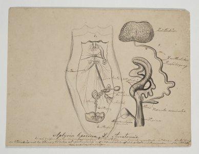 Aplysia leporina [art original].