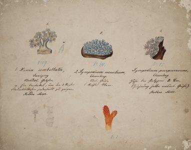 Henia umbellata [art original]: Sympodium coeruleum: Sympodium purpurascens