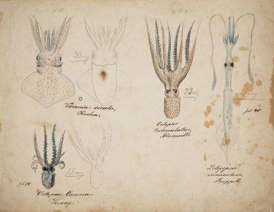 Verania sicula [art original]: Octopus tuberculatus: Loligopsis vermicularis: Octopus carena