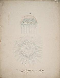 Zygodactyla coerulescens [art original]: Mesonema macrodactylum: Zygodactyla crassa, no. 196