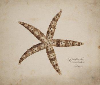 Ophidiaster tuberculatus [art original].