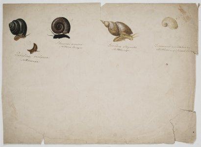 Paludina vivipara [art original]: Planorbis corneus: Limnaeus stagnalis: Limnaeus auricularius