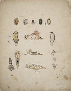 Bornella arborescens [art original]: Doriopsis scabra: Goniobranchus albomaculatus: Triopa gracilis.