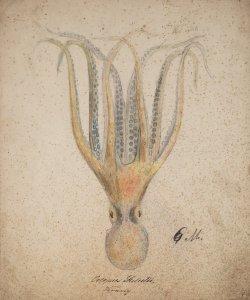 Octopus salutii [art original].