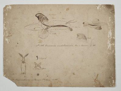 Carinaria mediterranea [art original]: Pneumodermon violaceum.