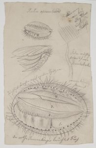 Pecten opercularis [art original]: Scrobicularia piperata: Tapes decussata