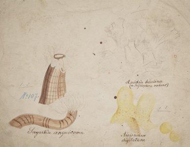 Sagartia anguicoma, no. 107 [art original]: Ascidia hialina: Alcionium digitatum