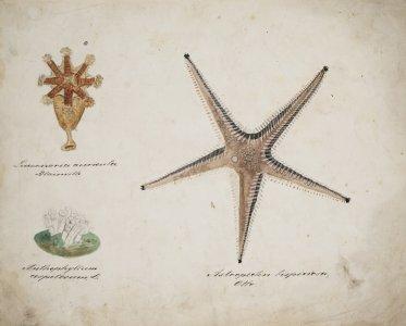 Lucernaria auricular [art original]: Anthophyllum cespitosum: Astropecten bispinosa
