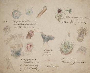 Corynactis allmanii [art original]: Caryophyllia smithii: Sagartia bellis: Sagartia rosea: Lucernaria auricular: Bunodes gemmacea
