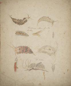 Acolis alba [art original]: Facelina Drummondii.