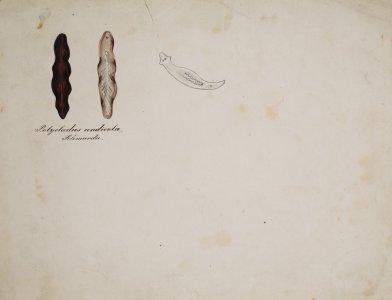 Polycladus andicola [art original].