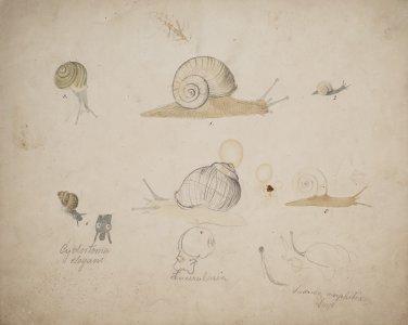 Cyclostonia elegans [art original]: Succinea amphibia