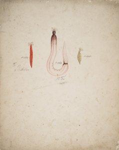 Chirodota rigida, no. 263 [art original]: Anapta gracilis, no. 262: Psolus boholensis, no. 278