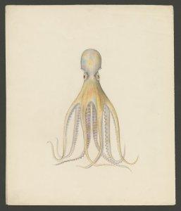 [Octopus macropus, Risso] [art original]: nr. 572.