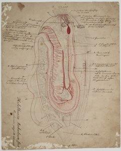 Holothuria tubulosa [art original].