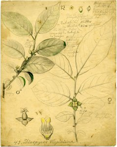 Diospyros Virginiana [art original].