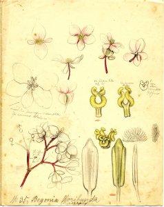 Begonia floribunda [art original]