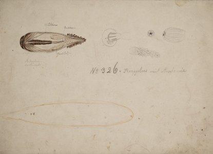 Priapulus mit anatomie [art original].