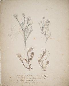 Obelia dichotoma, no. 167 [art original]: Obelia sphaerulina, no. 168: Clytia volubilis: Calycella syringa
