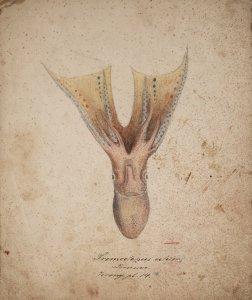 Tremoctopus velifer [art original].
