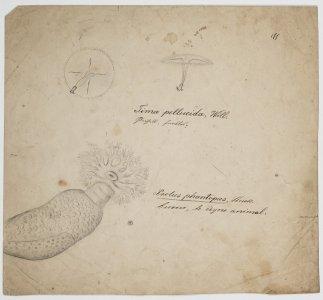 Tima pellucida [art original]: Psolus phantopus