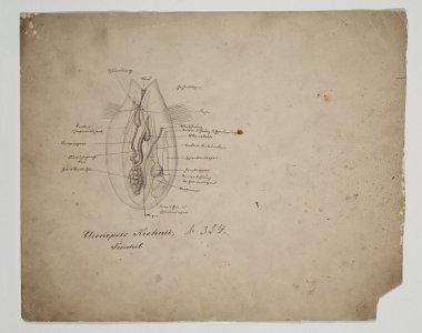 Clionopsis Krohnii, Troschel [art original].