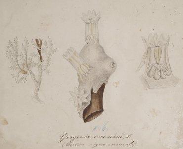 Gorgonia verrucosa [art original].