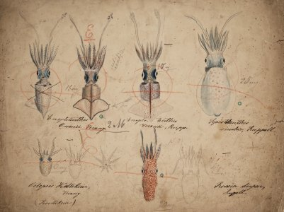 Enoploteuthis owenii [art original]: Enoploteuthis veranii: Sepioteuthis sicula: [Octopus kallikerii]: Rossia dispar