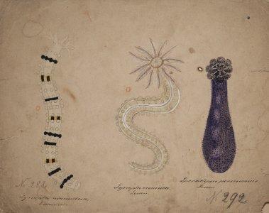 Synapta mamillosa, no. 288 [art original]: Synapta oceanica: Sporadipus peruvianus, no. 292
