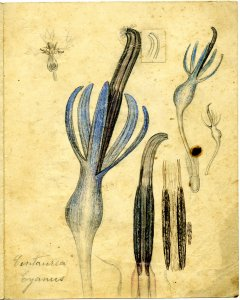 Centaurea cyanus [art original].