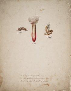 Palythoa auricula, no. 69 [art original]: Saccanthus purpurascens, no. 87: Zoanthus solanderii, no. 118