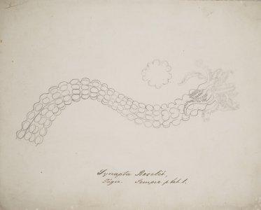 Synapta beselii [art original].