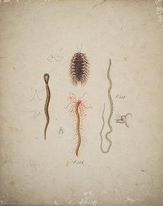 Audouinia Lamarckii [art original]: Notocirrus Hilairii.
