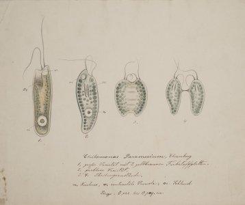 Chilomonas paramecium [art original].